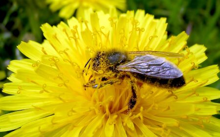 Dandelion and the bee      photo