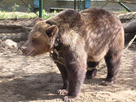 Tied to Bear Stock Photo - 2021673