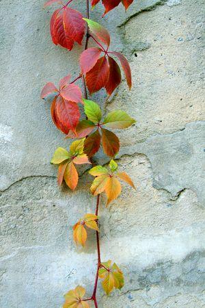 野生のブドウの上の壁を通って這う 写真素材
