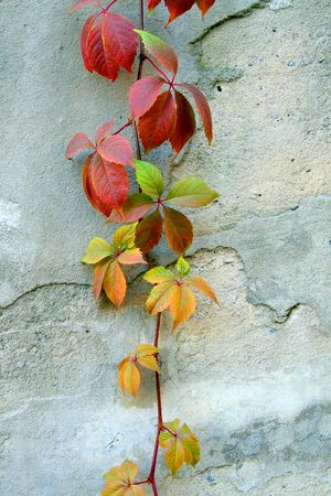 Wild grapes of that creeping through the wall upward Imagens