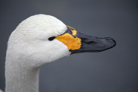 dampness: Head of swan against the background of the water Stock Photo