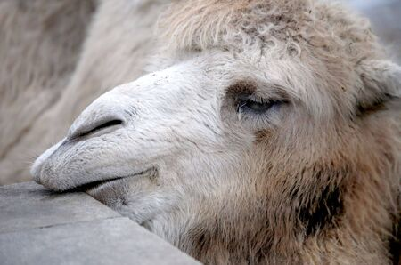 nostril: Head of camel by the closeup