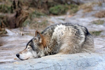 guardianship: Wolf rests Stock Photo