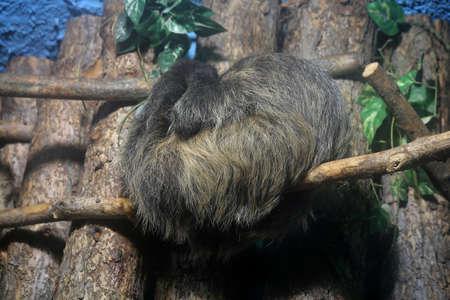 faultier: Tier ist das Faultier