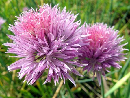 Flor de la planta de ajo por un gran plan de Foto de archivo - 3291018