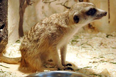 Animal of mongooses Фото со стока