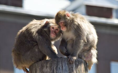 Japanese macaque, look photo