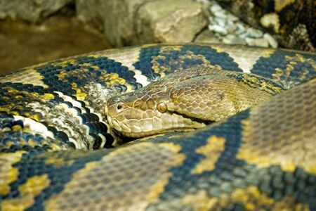 reticulated: Reticulated python