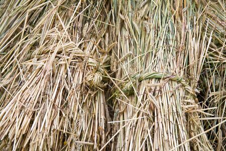 gramineous: Sheaves, background Stock Photo
