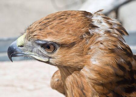 Falcon  Banque d'images - 7317657