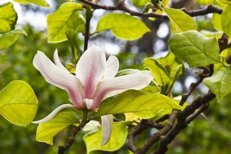 Magnolia Stock Photo - 8927480