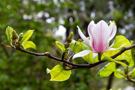 Magnolia Stock Photo - 8927481