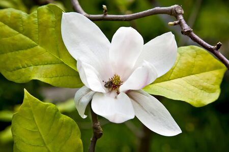 Magnolia Stock Photo - 8930586