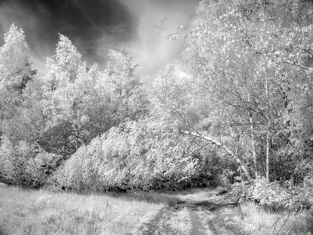 selectivity: Infrared photograph. Birch