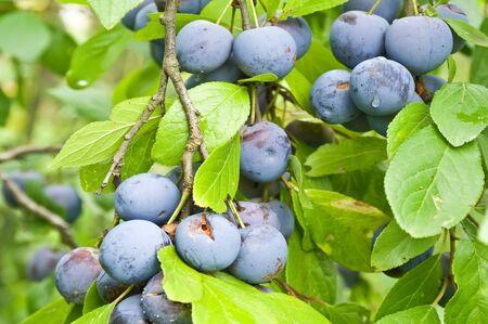 wilding: Berries of blackthorn