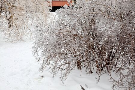 frost bound: Ice-covered bushes