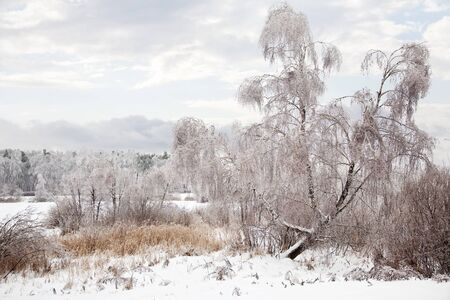 frost bound: Iced birch after the winter shower