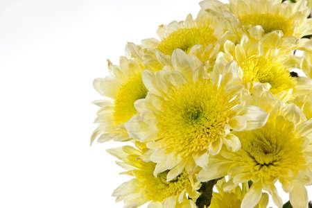bunched: Crisantemo � raggruppato. Composizione aperta Archivio Fotografico