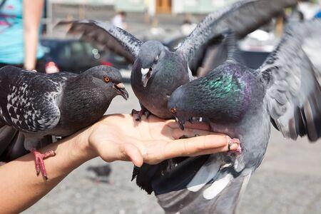 비둘기의 먹이