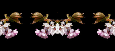 Cherry blossoms. Collage photo