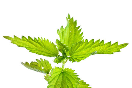 homoeopathic: Nettle plant closeup isolated on white background Stock Photo
