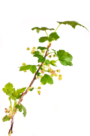 Flowering blackberry, it is isolated on a white background photo