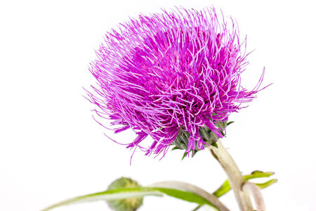 Plant knapweed closeup isolated on white background photo