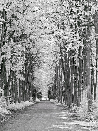 Foliage and trees. Avenue in the park. Photo in the infrared range