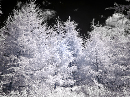 Apexes of conifers on a background black sky. Photo in the infrared range