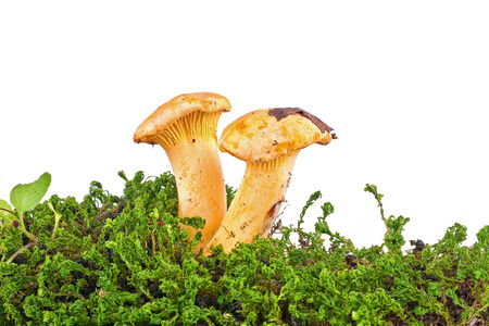 cantharellus: Yellow mushrooms of cantharellus, it is isolated on a white background  Stock Photo