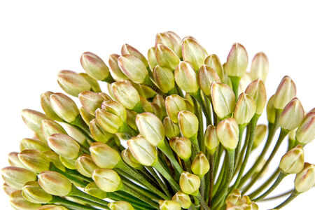 seminal: Ripening seminal inflorescence is Welsh onion isolated on white background