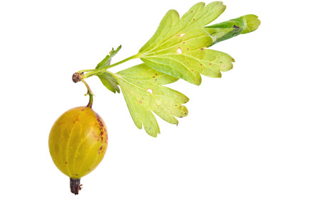 Branches of bush gooseberry and struck tortricidae sheet, it is isolated on a white background  photo