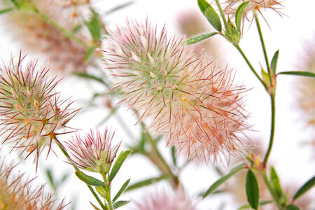 Has many names. Official Clover Trifolium arvense. Folk is a charesfoot clover, rabbitfoot clover, stone clover, hares-foot clover, oldfield clovermouse clover photo