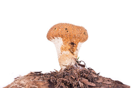 conditionally: Conditionally edible tasty mushroom on rotten twig. Isolated on white background Stock Photo