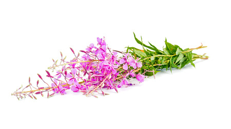 Flowering plant of Willow-herb, it is isolated on a white background   photo