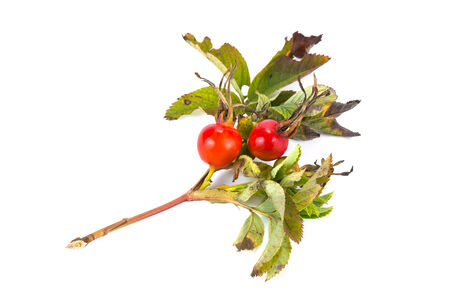 Branch of plant a briar with a berry is isolated on a white background photo