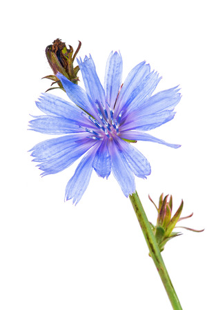Flowering plant chicory is isolated on a white background photo