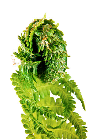 deployed: The opened out leaf of young fern is isolated on a white background