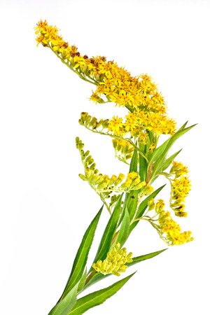 Flowering plant Canada goldenrod it is isolated on a white background Stock Photo