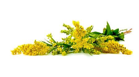 それは、白い背景に分離開花植物カナダ ゴールデンロッド 写真素材