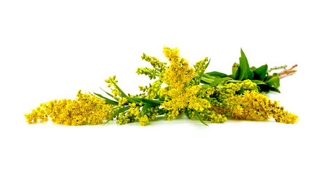 Flowering plant Canada goldenrod it is isolated on a white background Standard-Bild