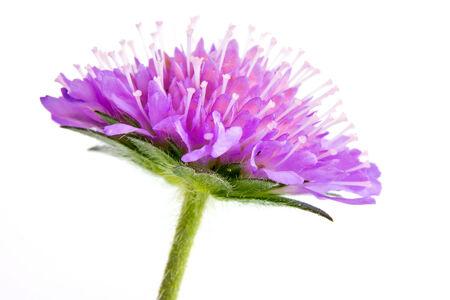 arvensis: Flowering plant of Knautia arvensis