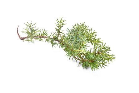 a juniper: Rama de la planta de con�feras un enebro est� aislado en un fondo blanco