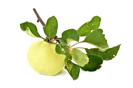 A whole ripe apple on a branch is isolated on a white background photo