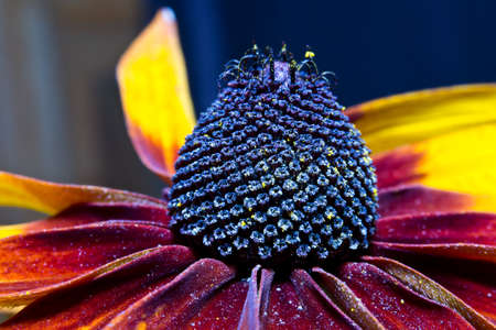 plant seed: Seed of flowering plant Rudbeckia by closeup