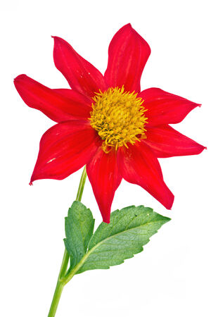 A bright garden flower dahlia  Merry guys is isolated on a white background photo