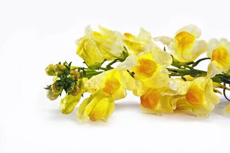 field of flower: Fiore di campo Linaria � isolato su uno sfondo bianco