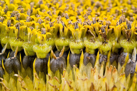 maturing: Inflorescence sunflower maturing seeds with flowers by closeup