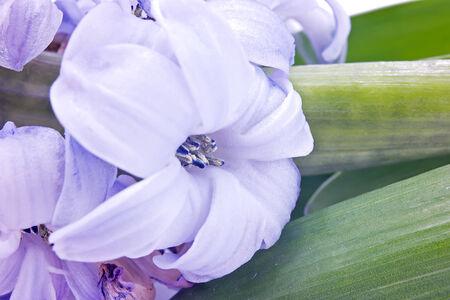 flowering plant: Pianta Giacinto dal primo piano Archivio Fotografico