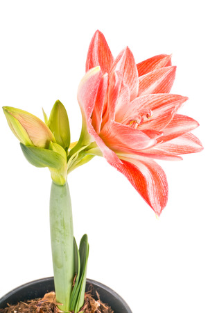 terrycloth: Flowering indoor flower Hippeastrum terry isolated on white background